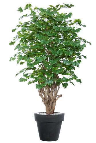 Gynkgo Malabar 180 cm Green